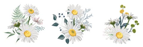 Set of Chamomile Daisy bouquets, white flowers, buds, green leaves, fern and berries. Botanical illustration on white background for design, hand draw royalty free illustration