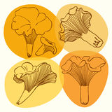 Set of chanterelle mushrooms. Vector illustrations . Stock Photos