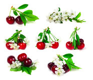 Set of cherry with leafs and flowers. Isolated on white background Stock Photo