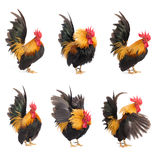 Set of chicken bantam isolated Royalty Free Stock Images