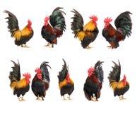 Set of chicken bantam isolated. On white background stock images