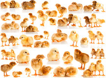 Set chicken isolated. Stock Photography