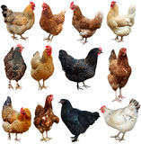 Set of chicken isolated on white. Rooster Chicken isolated on a white background stock photos