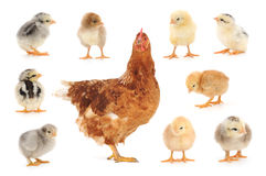 Set of chicken on white Stock Image