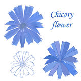Set of chicory flower  on white background.  Royalty Free Stock Photography
