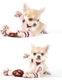 Set of chihuahua puppy portraits with winter kit Stock Image