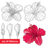 Set of Chinese Hibiscus or Hibiscus rosa-sinensis  on white background. Flower symbol of Hawaii Stock Photo