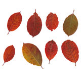 Set of chokeberry leaves Royalty Free Stock Image