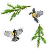 Set of Christmas bird photos of tit and branch of green spruce o. N white isolated background stock photography