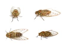 Set of cicada insect. Isolated on white background Stock Photography