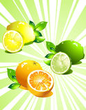 Set citrus fruit. Vector. For your design Royalty Free Stock Photography