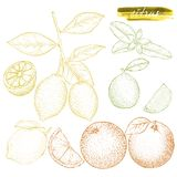 A set of citrus fruits: oranges, lemons, and lime. Hand drawn ha Royalty Free Stock Photo