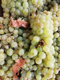 White grapes. Set of clusters of white grapes and leaves of different shades according to their madurity stock images