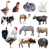 Set of cock and other farm animals. Isolated over white. Background Royalty Free Stock Photo