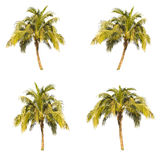 Set of coconut  tree . Stock Photos