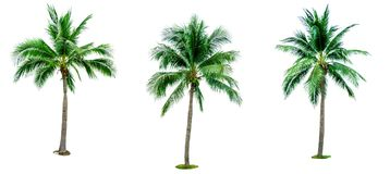 Set of coconut tree isolated on white background used for advertising decorative architecture. Summer and beach concept. Tropical palm tree royalty free stock image