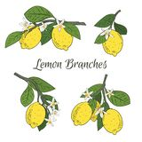 Set collection of branches with lemons, green leaves and flowers. Citrus fruits isolated on white background. Vector stock illustration