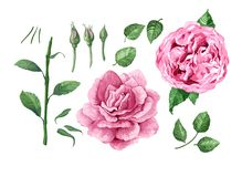 Set, collection of Rose flowers, petals and leaves isolated on white background. Art vector illustration in watercolor style Royalty Free Illustration