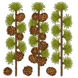 Set of color images of larch and cones. Isolated vector objects. Stock Photo