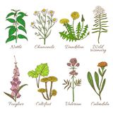 Set of Colored Medicinal Plants. Set of Medicinal Plants. Colored Collection in Hand Drawn Style. Vector Illustration of Nettle Chamomile Dandelion Wild Rosemary Stock Photo