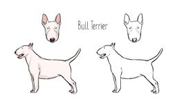 Set of colored and monochrome line drawings of head and full body of Bull Terrier,   Stock Photography