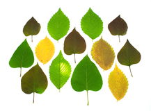 A set colorful autumn leaves. A set colorful autumn lilac and elm  leaves Stock Photography