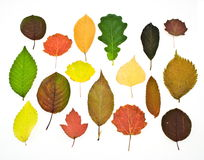 Set colorful autumn leaves. Isolated on white Royalty Free Stock Photos