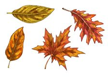 Set of colorful autumn leaves and berries. Isolated on white background. Simple cartoon flat style. vector illustration. Set of colorful autumn leaves and vector illustration