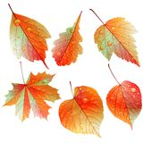 Set of colorful autumn leaves. Stock Photos