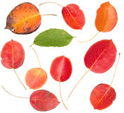 Set of colorful autumn leaves Royalty Free Stock Image