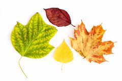 Set of colorful autumn leaves Royalty Free Stock Photos