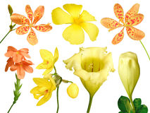 Set of colorful flower isolated, full bloom flora spring season (Yellow Showy chalicevine) Royalty Free Stock Image
