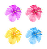 Set of Colorful Hibiscus Flowers Blossom  Royalty Free Stock Photography