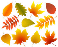 Set of colorful isolated autumn leaves Royalty Free Stock Image