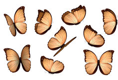 Set colorful isolated butterflies. View Insects Lepidoptera Morpho amathonte Vector illustration Royalty Free Stock Images