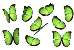 Set colorful isolated butterflies. View Insects Lepidoptera Morpho amathonte Vector illustration Royalty Free Stock Photos