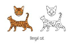 Set of colorful and monochrome outline drawings of head and full body of Bengal cat isolated on white background. Pet. Animal with spotted coat. Front and side Royalty Free Stock Photo