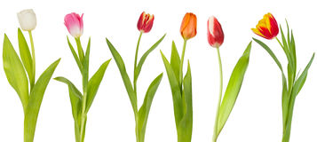 Set of colorfull tulips Stock Photos