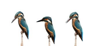Set Common Kingfisher isolated on white Royalty Free Stock Image