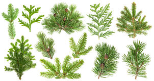 Set of coniferous tree branches. Spruce pine thuja fir cone. Set of evergreen coniferous tree branches isolated on white background. Spruce, pine, thuja, fir Royalty Free Stock Photos