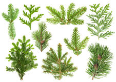 Set of coniferous tree branches. Spruce, pine, thuja, fir. Set of evergreen coniferous tree branches isolated on white background. Spruce, pine, thuja, fir Royalty Free Stock Image