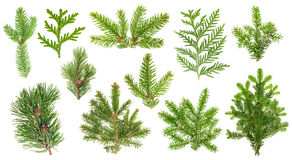Set coniferous tree branches. Spruce, pine, thuja, fir twigs Stock Images