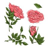 Set of coral roses. Hand drawing Vector illustration.  royalty free illustration