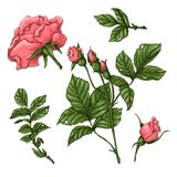 Set of coral roses. Hand drawing. Vector illustration vector illustration