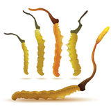 Set of cordyceps Royalty Free Stock Image