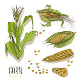 Set of corn plant. Colorful hand drawn collection maize. Vector illustration. Stock Photography
