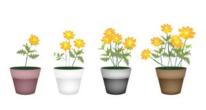 Set of Cosmos Flowers in Flower Pot Royalty Free Stock Image