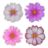 Set of cosmos flowers isolated on white background Royalty Free Stock Images