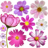 Set of cosmos flowers Royalty Free Stock Photography