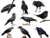 Set crow, blackbird, jackdaw, rook, hooded crow Stock Images